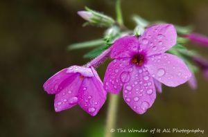 wild-geranium-2.jpg