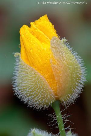 poppy-2.jpg