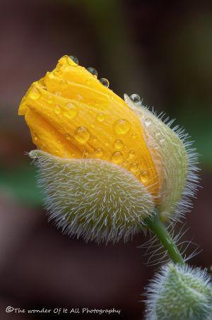 poppy-4.jpg